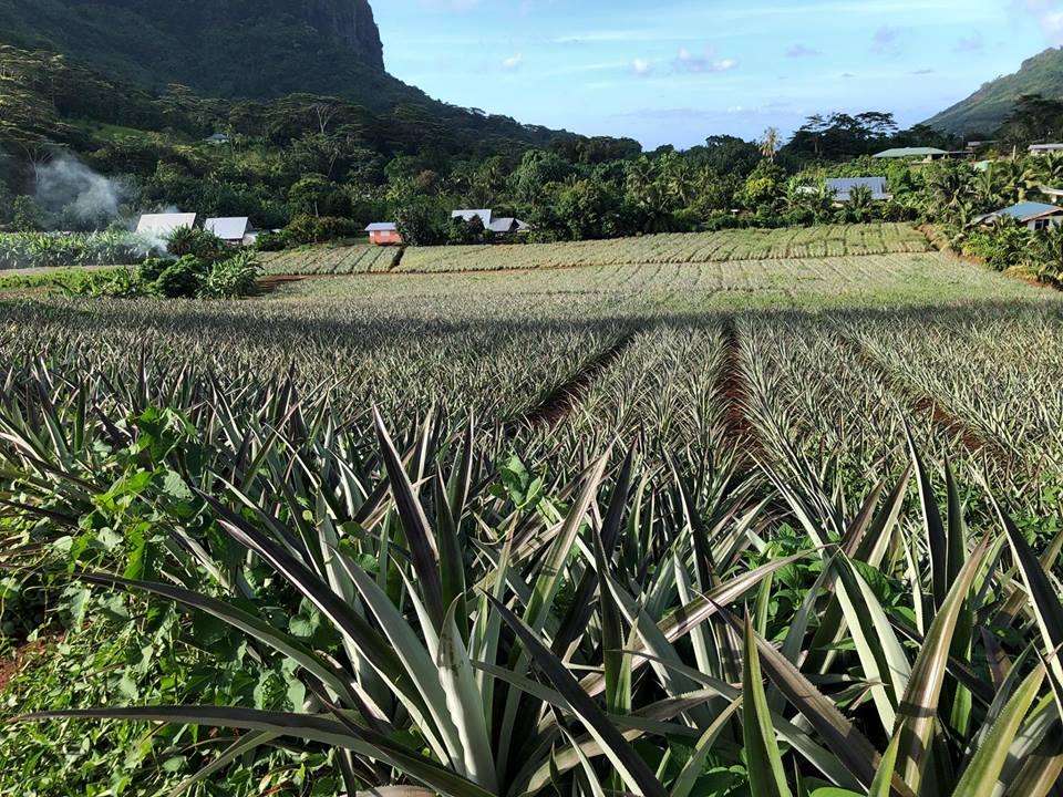 Pineapple Field Hikes